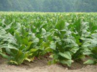 В США создали табак, который способен расти даже в пустыне